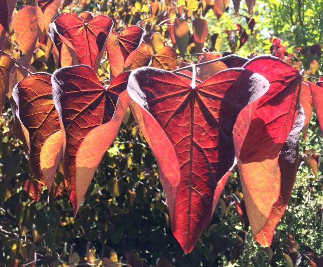 Redbud leaves in morning sun at Arlington Garden, Pasadena. Like dragonflies.